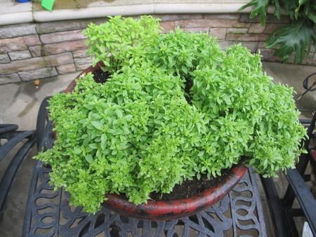A pot of basil