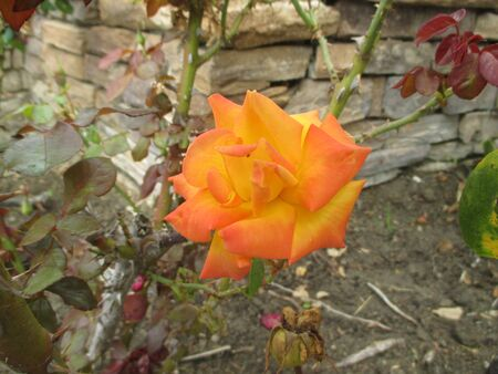 tipped: An orange tipped yellow rose