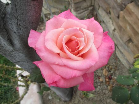 A large light pink rose next to a stone wall Banco de Imagens