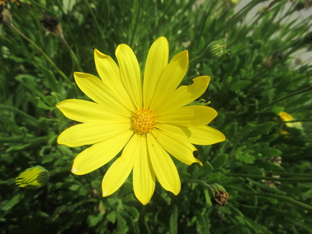 on yellow daisy: A yellow daisy encircled by thin green leaves Stock Photo