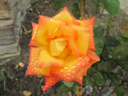 Raindrops on an orange tipped yellow rose
