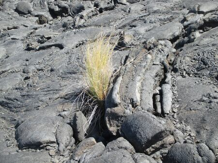 plant growing in a dried black lava field