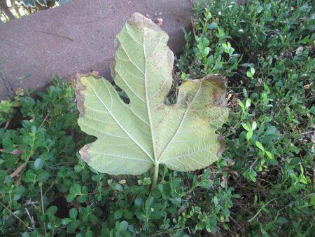 A fallen fig leaf on a bush