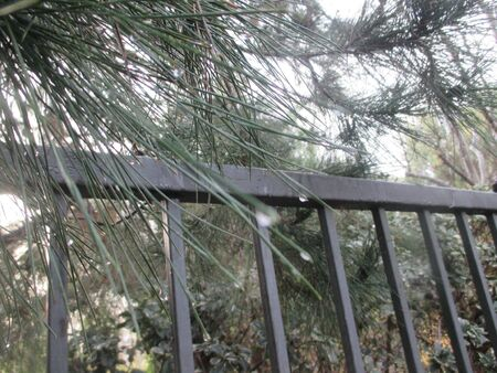 Rain drops on pine tree needles Stockfoto