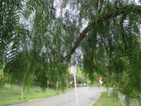 A residential street from underneath a pepper tree Stockfoto