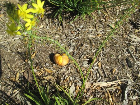 rotten orange in the dirt Stockfoto