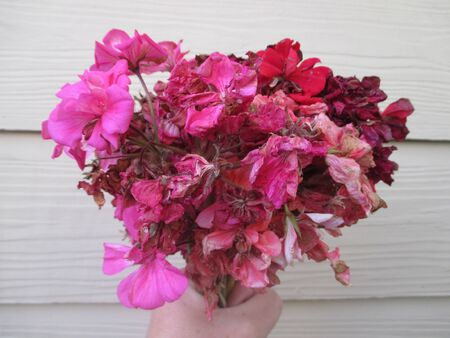 A bouquet of dead and rotting pink and red geraniums