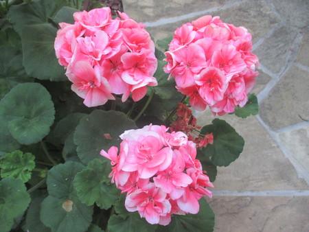 Three pink geraniums in a garden