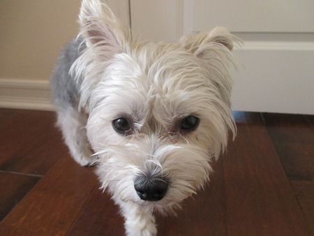 A silver and gray colored yorkshire terrier on a wooden floor