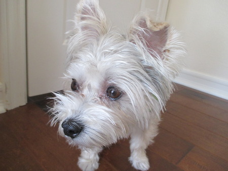 A silver and gray yorkshire terrier on a wooden floor