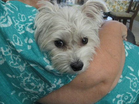 A silver colored yorkshire terrier's head resting on an old woman's arm
