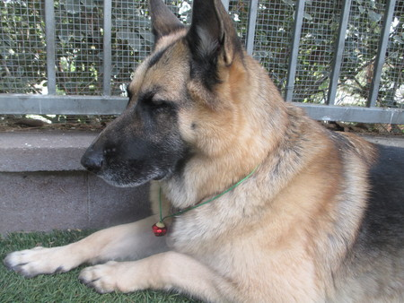 Large German shepherd with a red jingle bell around his neck