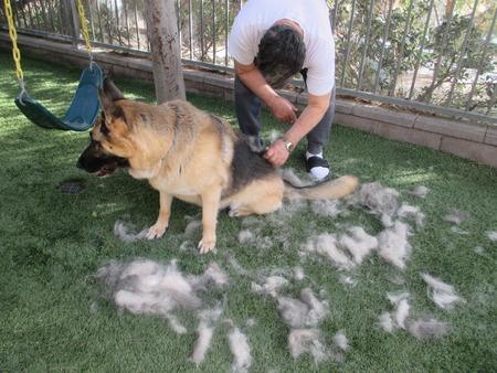 A man brushing a large German shepherd