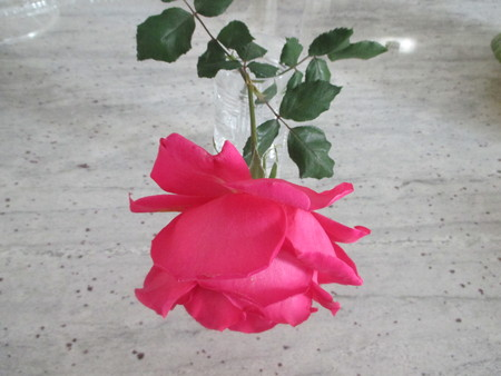 A large pink rose in a tall glass of water
