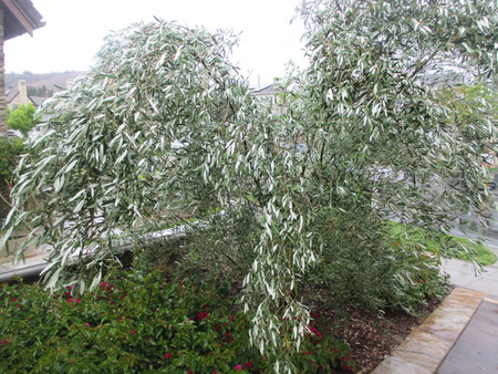olive tree branches bent over by heavy rain