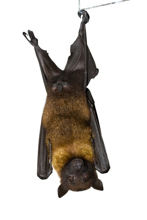 batman: Brown Bat, view from a front  Isolated on white Stock Photo