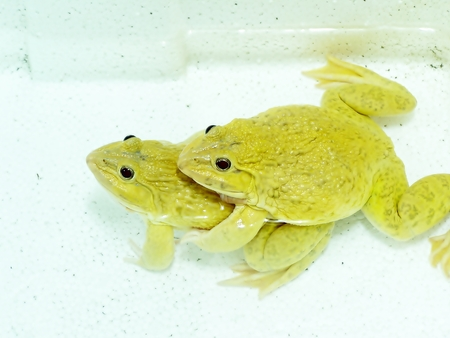 yellow and black poison dart frog: frog is yellow