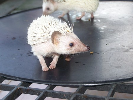 a porcupine is dwarf , have both white of and docile black , top hit pets forever photo