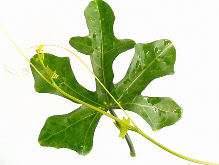 valuable: Ivy gourd performs at many benefits. Valuable food and fine herbs.