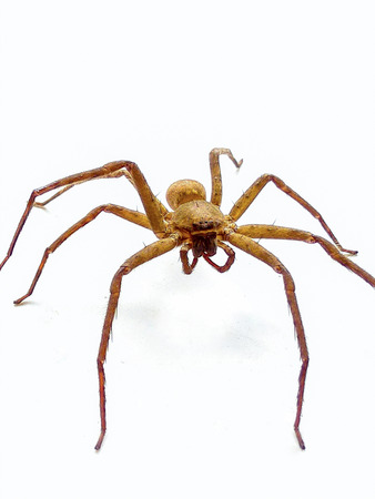 eight legs: What Perky brown recluse spider is venomous small.