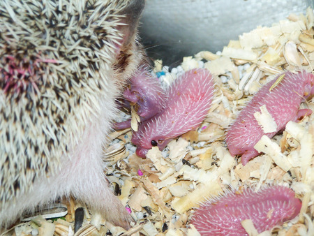 laughable: dwarf Hedgehog with newborn baby