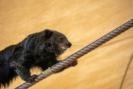 The Bearcat or Arctictis Binturong show is on the rope.