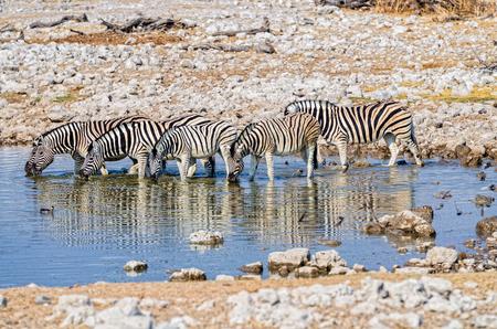 pozo de agua: Burchell cebras en una charca Foto de archivo