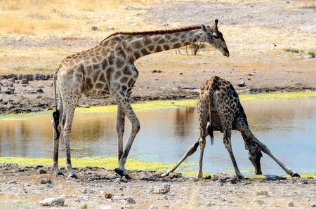 Giraffe drinking while the other one is watching photo