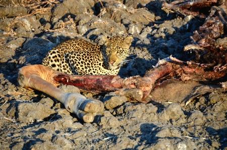 carcass: Luipaard met een Thornicroft giraffe karkas Stockfoto