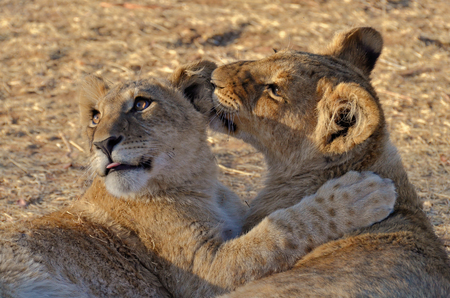 Lion cubs playing photo