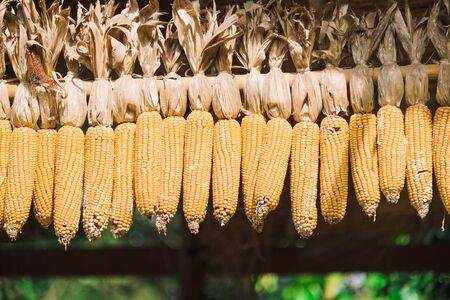 Maize corn with blur background and copy space