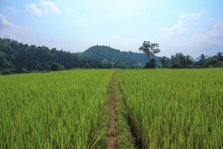 clear path: Rice field with path and clear sky
