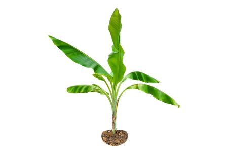 Green Young Banana tree isolated on a white background which can used for all types of works