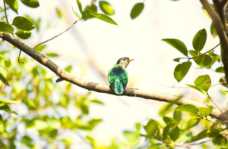 Threatened species of Asian Emerald Cuckoo bird on a branch Stock Photo