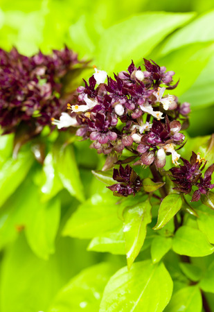 linn: Thai sweet basil known as one of popular herbs in kitchen of every house to put in red and green curry.