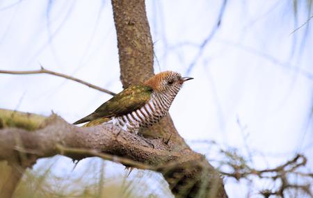 montane: Emeral Cuckoo, rarely seen bird of Asia   Stock Photo