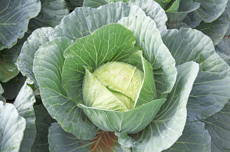 unpicked: Unpicked cabbage is now ready for harvesting