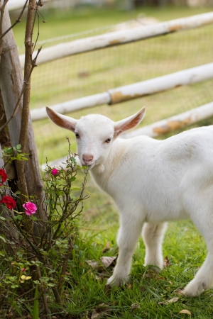 A white baby goat against grass  photo