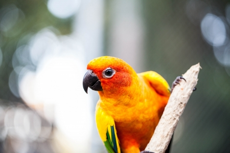 Sun Parakeet, Sun Conure, Aratinga solstitialis, in the north of Thailand photo