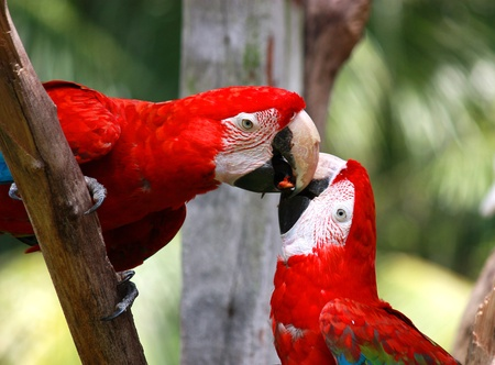 couple of parrot kissing