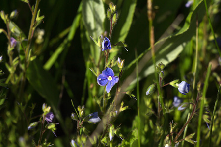 veronica flower: Blue flowers of speedwell in the meadow Stock Photo