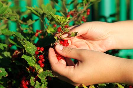 currents: Women picking redcurrants in garden