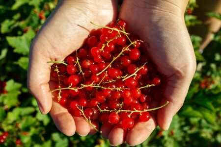 currents: Redcurrants in hands in the garden