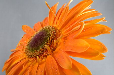 gerbera with drops of water on petals Stock Photo - 13741260