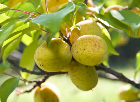 apricot among leaves on a tree Stock Photo - 13783070