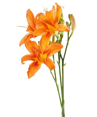 three flowers of lily upright on a white background
