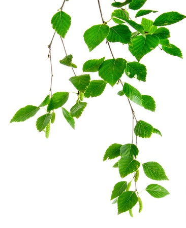 branch of birch trees with young leaves and buds on the white