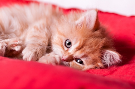 bedspread: red kitten lays on a red bedspread and licking paw