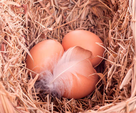three yellow balls with a feather in the nest Stock Photo - 17570882