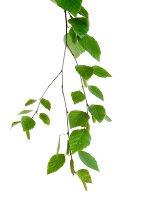 young branch of birch with buds and leaves isolated
